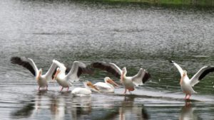 birddance peliquins spat over williams lake shoreside By Rebecca Pickard