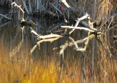 Wood Snake on shore of Dugan Lake at 150 Mile House  By Rebecca Pickard