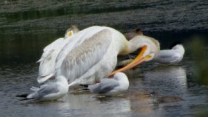 Peliquins and friends in the marshy area of Scout Island, Williams Lake By Rebecca Pickard