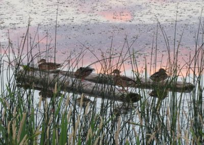 4 ducks on log at sunset , scout island, williams Lake By Rebecca Pickard