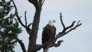 Eagle resting in tree beside Williams Lake By Rebecca Pickard